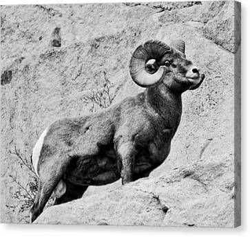 Black And White Bighorn Canvas Print