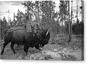 Black And White Bison In Yellowstone Canvas Print by Dan Sproul