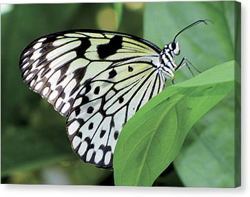 Black And White Butterfly Canvas Print by Bob Slitzan
