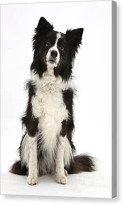 Black-and-white Border Collie Canvas Print