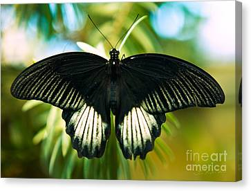 Black And White Butterfly Canvas Print by Iris Richardson