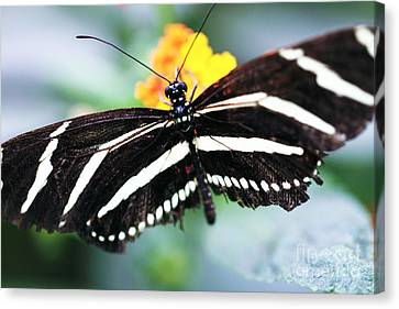 Black And White Butterfly Canvas Print by John Rizzuto