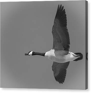 Canadian Marsh Canvas Print - Black And White Canadian Goose  by Thomas Young