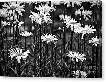 Black And White Daisies Canvas Print by Mary Carol Story