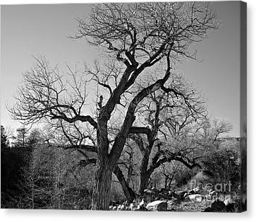 Canvas Print featuring the photograph Black And White Oak by Janice Westerberg