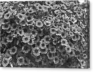 Sunshine Canvas Print - Black And White Petunias by Aimee L Maher Photography and Art Visit ALMGallerydotcom