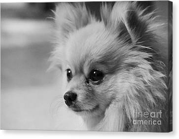 Black And White Portrait Of Pixie The Pomeranian Canvas Print