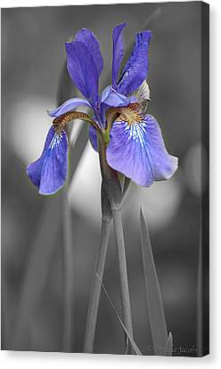 Black And White Purple Iris Canvas Print