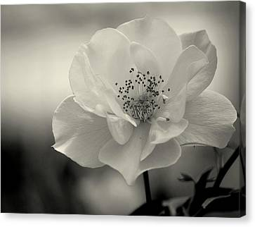 Black And White Rose Canvas Print by Amee Cave