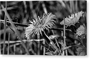 Black And White Tussilago Farfara Sign Of Spring. Canvas Print by Leif Sohlman