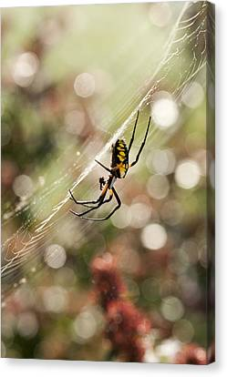 Black And Yellow Argiope Spider On Web Canvas Print by Kathy Clark