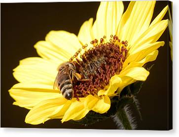 Black And Yellow Bee Beauty Canvas Print by Belinda Lee