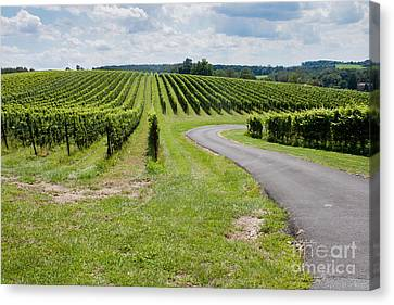 Maryland Vinyard In August Canvas Print by Thomas Marchessault