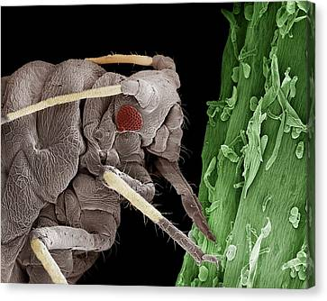 Eating Entomology Canvas Print - Black Aphid Feeding On Sap by Clouds Hill Imaging Ltd