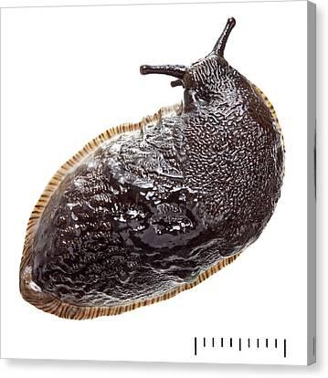 Slug Canvas Print - Black Arion by Natural History Museum, London