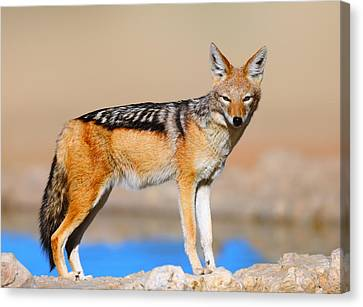 Black-backed Jackal Canvas Print by Johan Swanepoel