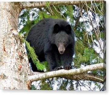 Black Bear 2 Canvas Print