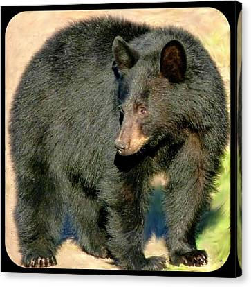 Okanagan Valley Canvas Print - Black Bear 3 by Will Borden
