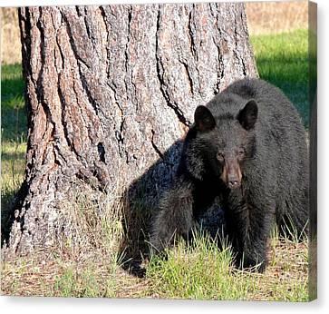 Okanagan Valley Canvas Print - Black Bear 4 by Will Borden