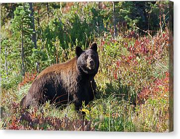 Boars Canvas Print - Black Bear, Autumn Berry Country by Ken Archer