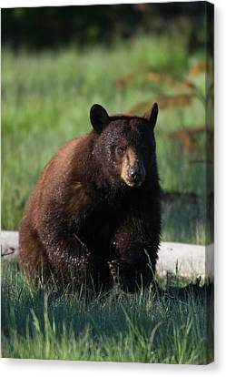 Black Bear Boar, Brown Color Phase Canvas Print by Ken Archer