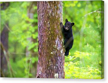 Black Bear Cub In Tree Canvas Print by Dan Friend
