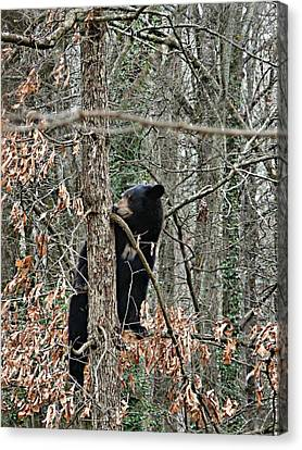 Black Bear Cub Canvas Print by William Tanneberger