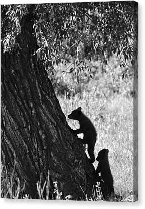 Black Bear Cubs Climbing A Tree Canvas Print