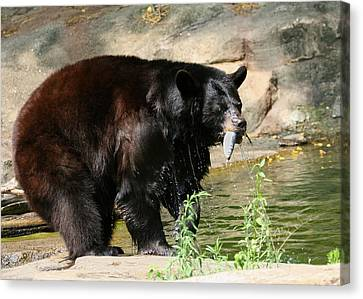 Pittsburgh Zoo Canvas Print - Black Bear Fishing by Angela Rath