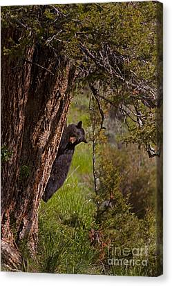 Canvas Print featuring the photograph Black Bear In A Tree by J L Woody Wooden