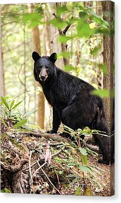 Black Bear Smile Canvas Print by Debbie Green