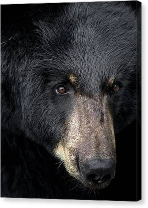 Black Bear Canvas Print by TnBackroadsPhotos