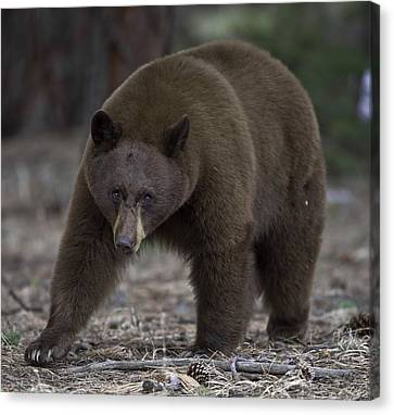 Black Bear Canvas Print by Tom Wilbert