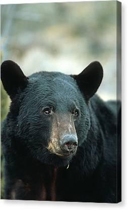 Black Bear (ursus Americanus Canvas Print by Richard and Susan Day