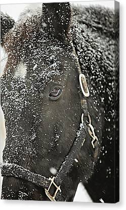 Black Beauty In A Blizzard Canvas Print