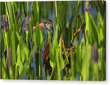 Black-bellied Whistling Duck Canvas Print by Maresa Pryor