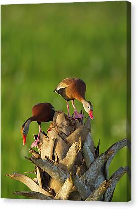 Black-bellied Whistling Duck Pair Canvas Print by Maresa Pryor