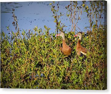 Black-bellied Whistling Ducks Canvas Print by Carolyn Marshall