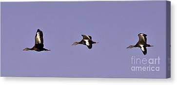 Black Bellied Whistling Ducks In Flight Canvas Print by Anne Rodkin