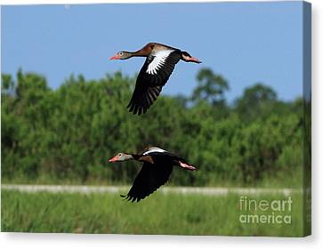 Black-bellied Whistling Ducks Canvas Print by Jennifer Zelik