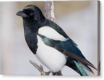 Magpies Canvas Print - Black-billed Magpie by Eric Glaser