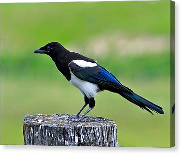Black Billed Magpie Canvas Print by Karon Melillo DeVega