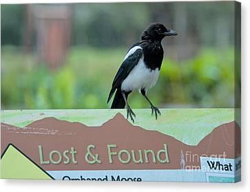Black-billed Magpie Canvas Print - Black-billed Magpie by Mark Newman