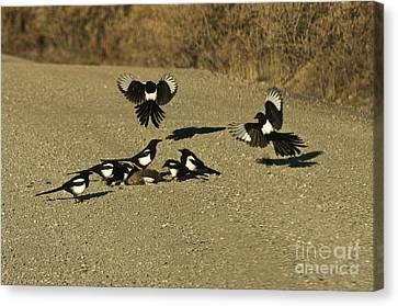 Black-billed Magpie Canvas Print - Black-billed Magpies At Roadkill by Ron Sanford