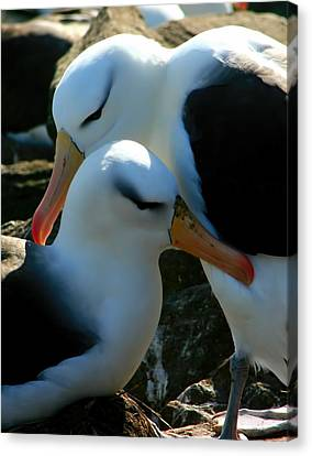 Canvas Print featuring the photograph Black Browed Albatross Pair by Amanda Stadther