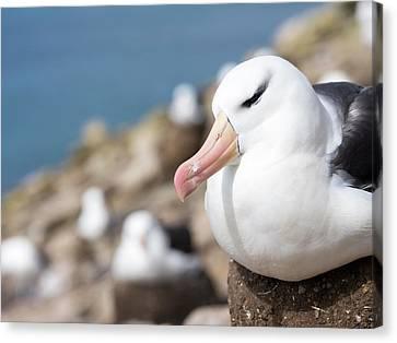 Black-browed Albatross (thalassarche Canvas Print by Martin Zwick