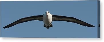 Black-browed Albatross Thalassarche Canvas Print