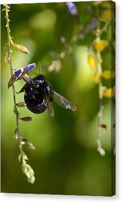 Black Bumblebee Canvas Print by Debra Martz