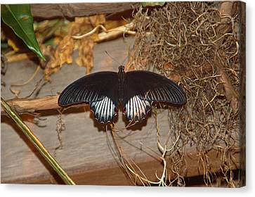 Black Butterfly Canvas Print by Aimee L Maher Photography and Art Visit ALMGallerydotcom
