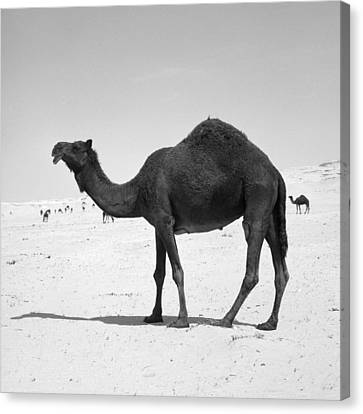 Black Camel In Qatar Canvas Print by Paul Cowan